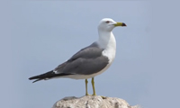 a black-tailed gull